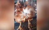 four-legged mutant chicken